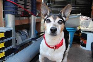 Rory the Jack Russell - Power Plumbing's very own mascot
